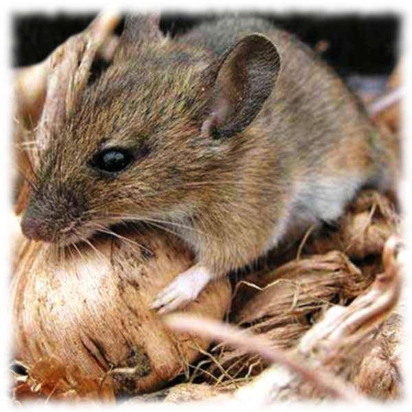 Мыши в погребе