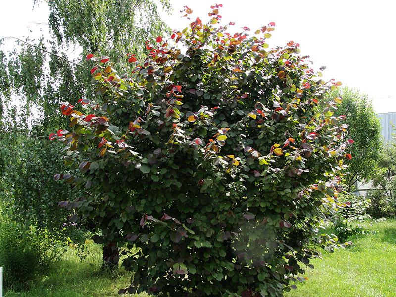лещина обыкновенная пурпурнолистная (Corylus Atropurpurea) – орешник краснолистный.