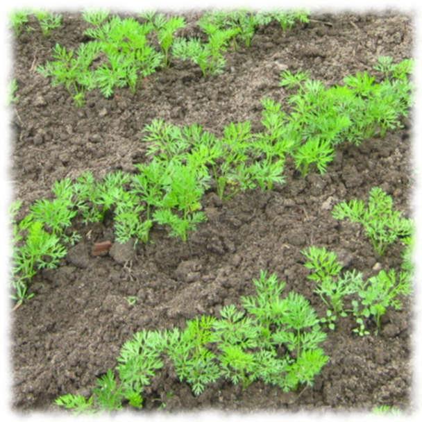 Хитрости выращивания моркови