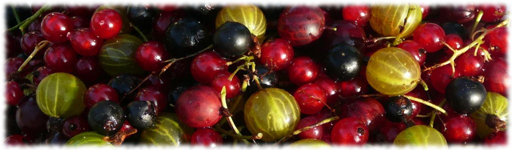 Смородина и крыжовник - кладезь витаминов