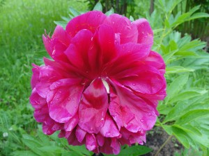 Пионы - любимые цветы на www.ru-dachniki.ru