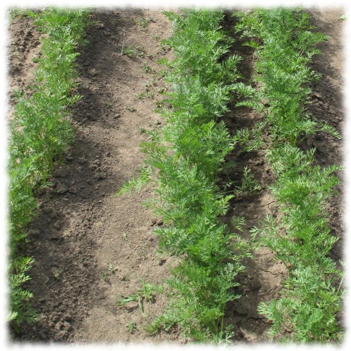 Посадки моркови