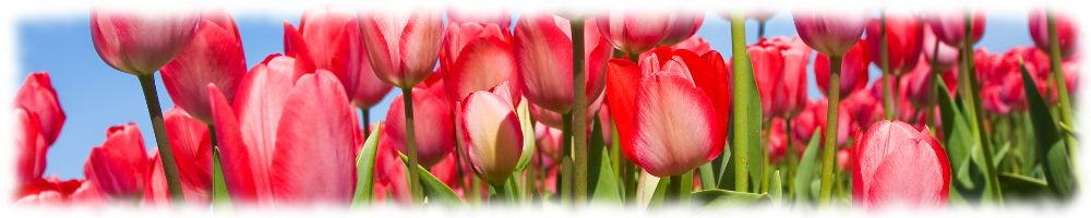 Тюльпаны утром