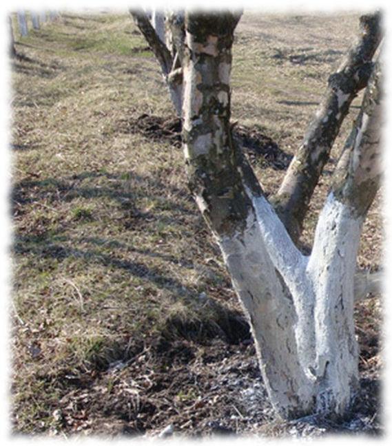Побелка яблонь в Апреле