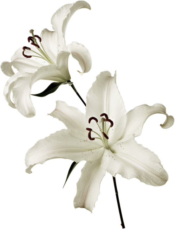 Лилия белая королевская фото