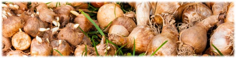 Луковицы и клубнелуковицы