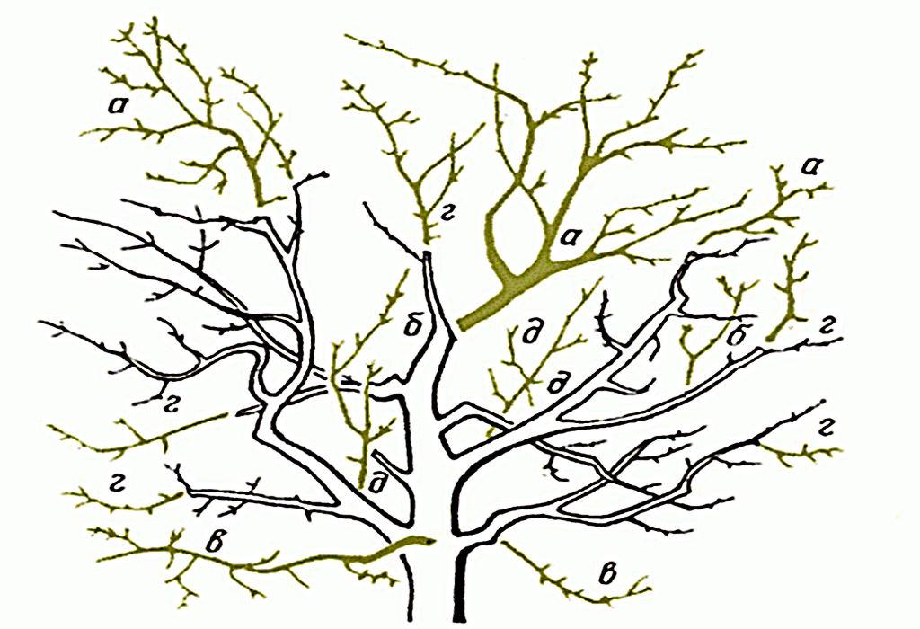 Правильная обрезка яблонь и груш