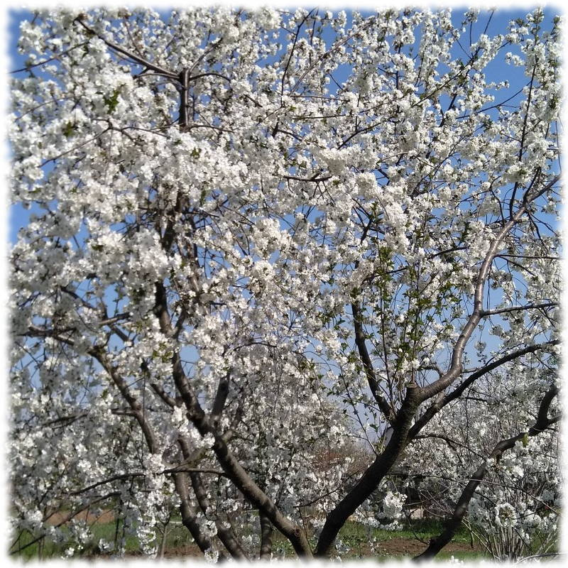 Обильно цветущая вишня