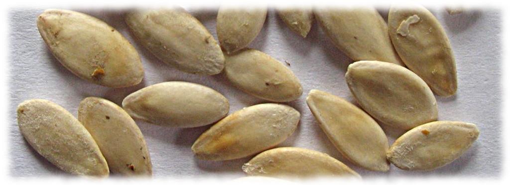 Семена огурцов на прорастании
