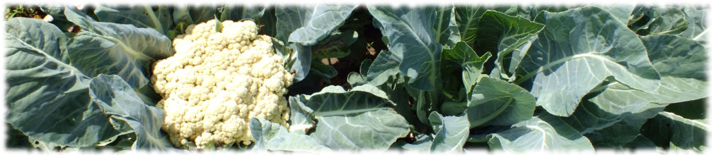 Хорошо удобренная цветная капуста