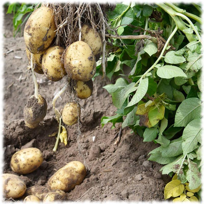 Уборка картофеля на даче