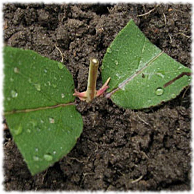 Зеленые черенки жимолости