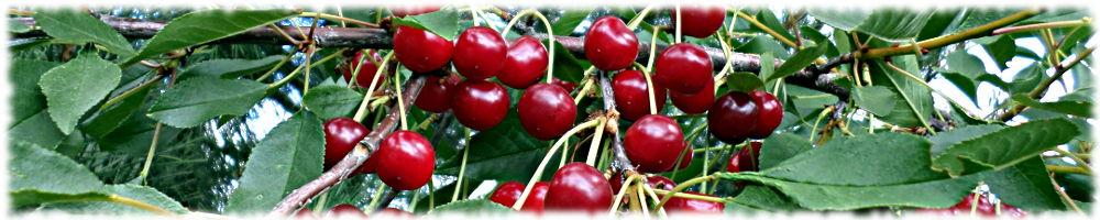 Сорта зимостойкой вишни