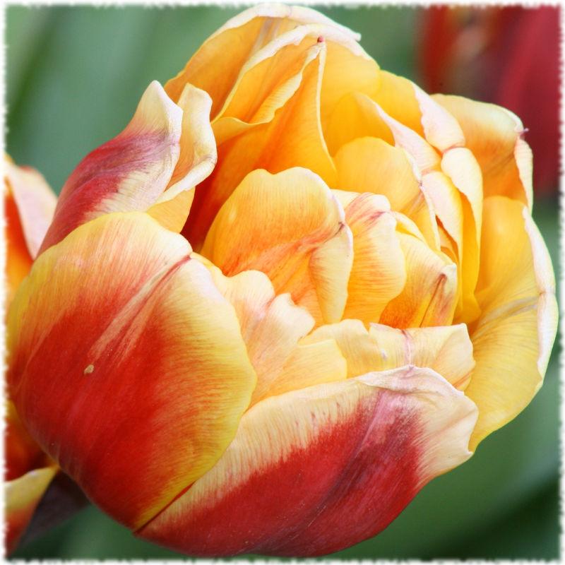 Прекрасный Подмосковный тюльпан