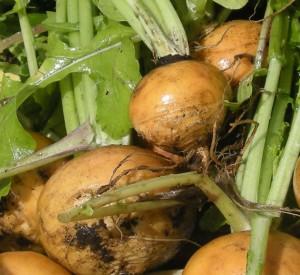 Старинные хитрости выращивания репы