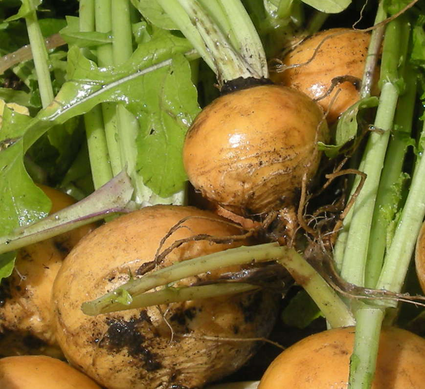 Условия выращивания репы 20