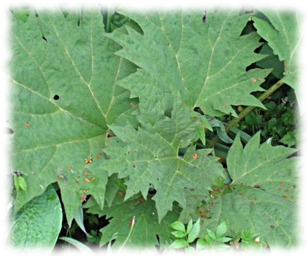Ревень дланевидный тангутский