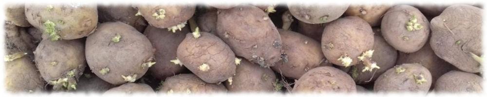 Семенной картофель для голландской технологии