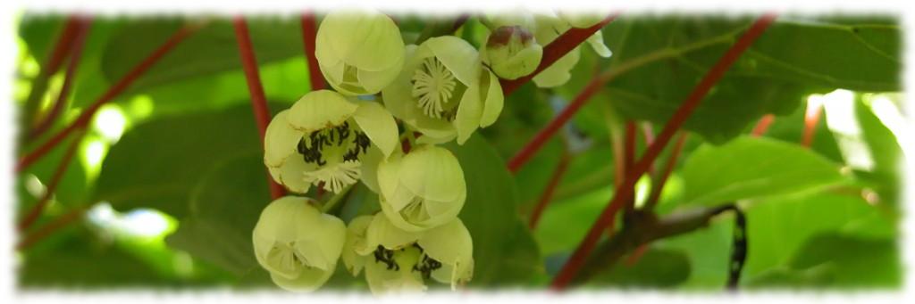 Наша цветущая актинидия
