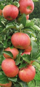 Колонновидные яблони на www.ru-dachniki.ru