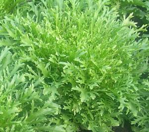Цикорный салат энвидий