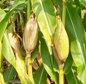 Кукуруза сахарная