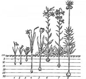 Глубина посадки луковичных
