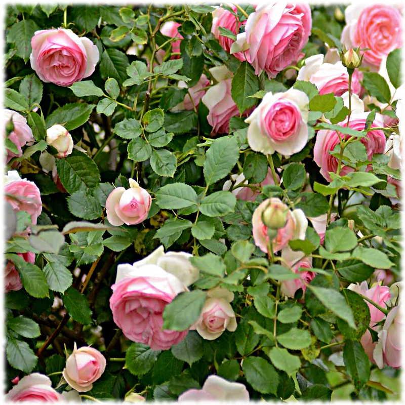 Хорошо удобренные розы