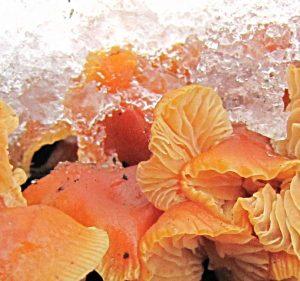 Зимний опенок, зимний гриб