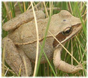 Травяная лягушка на нашей даче