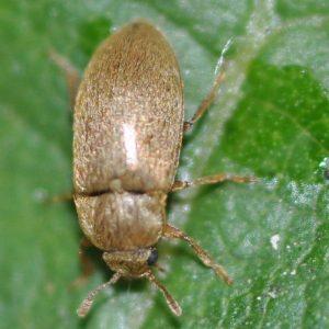 Малинный жук - вредитель малины и ежевики