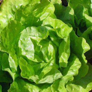 Салат - целебное растение