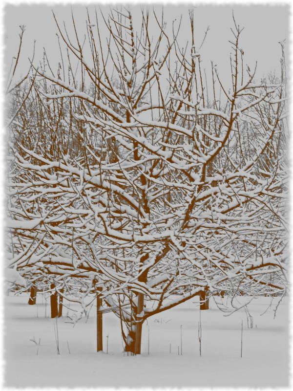Яблони зимой. Старые фото