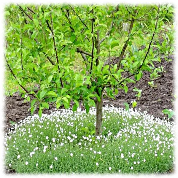 Задернение почвы под яблоней