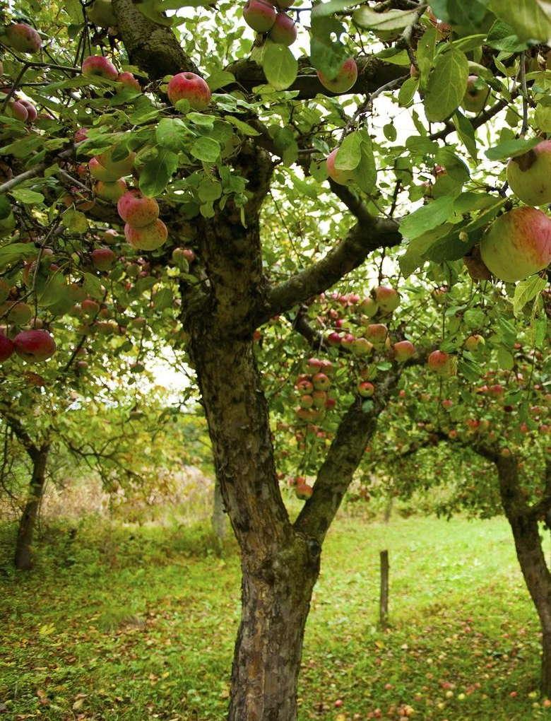Плодоносящая яблоня