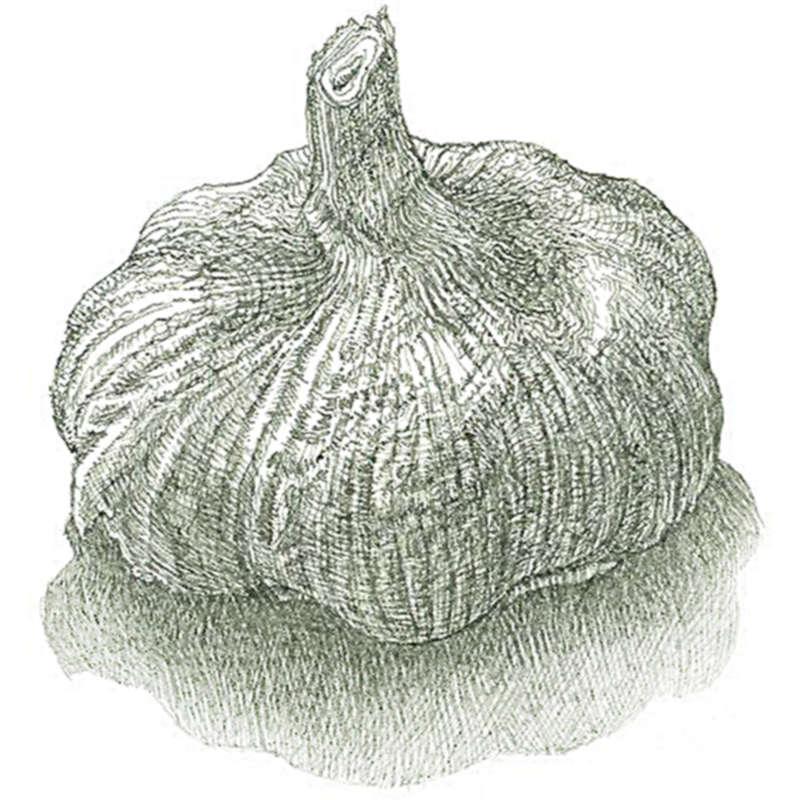 Выращивание чеснока по-старинному