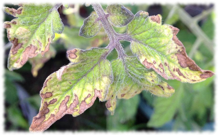 Хлороз листьев томата