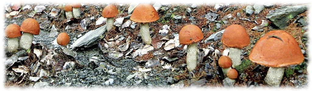 Леснве грибы на садовом участке