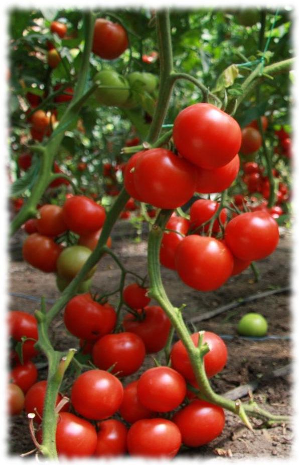 Куст томата в один стебель