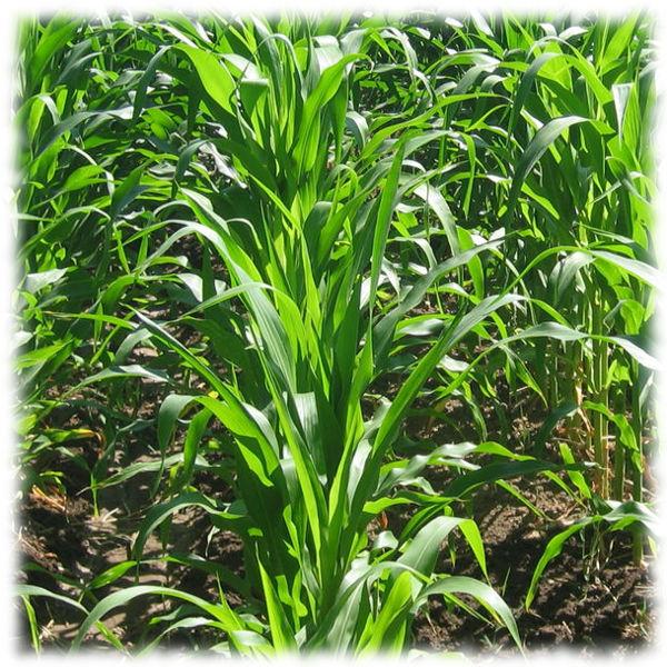 Посадки кукурузы
