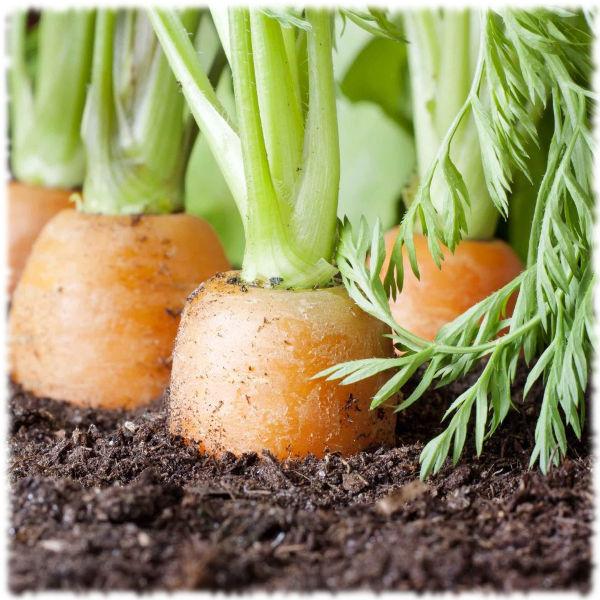 Правильная морковь