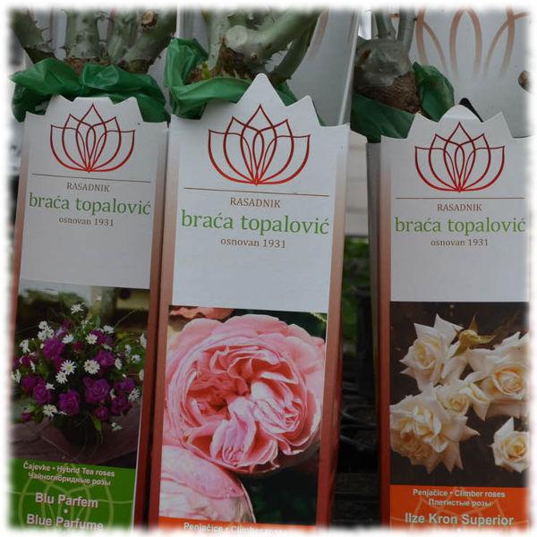 Саженцы роз в магазине зимой