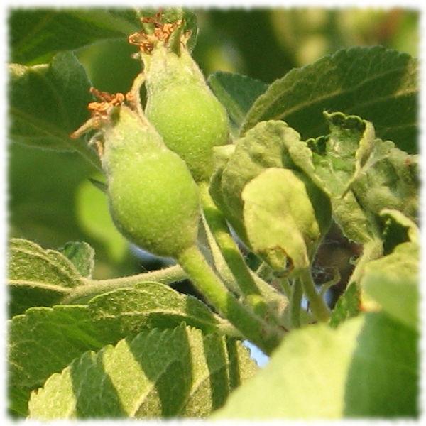 Завязи яблонь