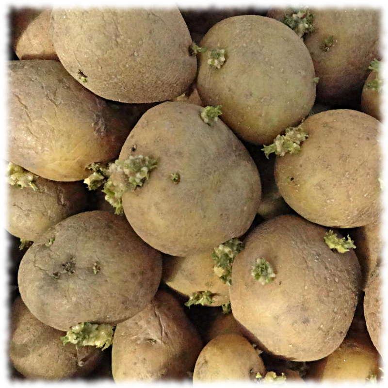 Правильный семенной картофель