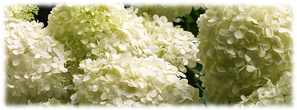 Цветущая белая гортензия