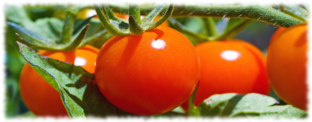 Статьи о помидорах - томатах